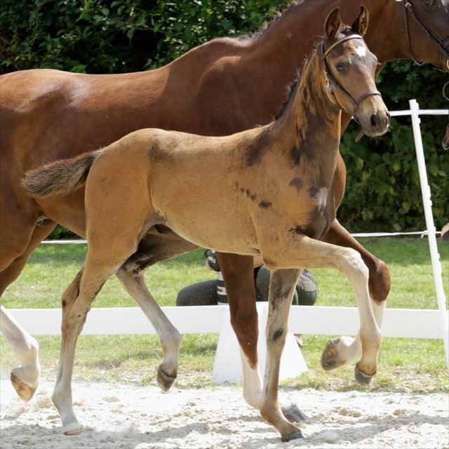 STRAIGHT HORSE SUN KING
