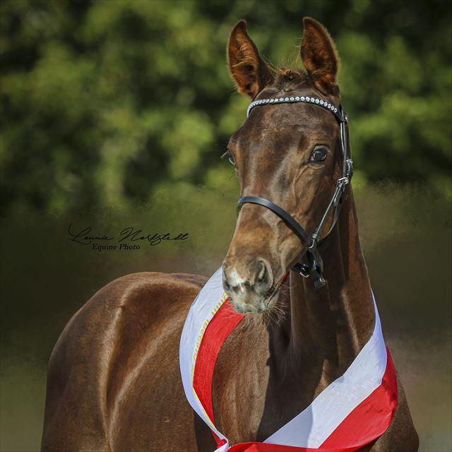 STRAIGHT HORSE SENATOR