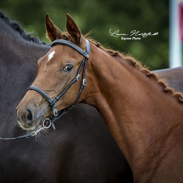 STRAIGHT HORSE SANZA