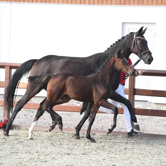 Heste til salg – Føl til salg