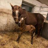 Luxia føl - 2 -3 timer efter fødsel...jpg