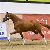 traight Horse De Milla 1.jpg
