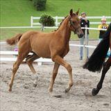 STRAIGHT HORSE ROZINA