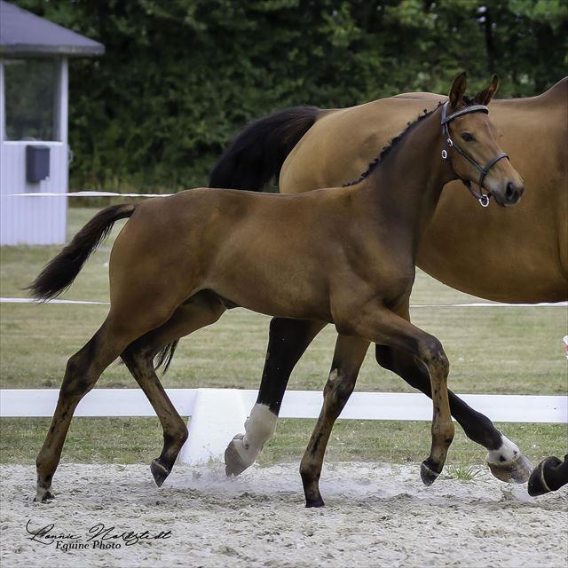 STRAIGHT HORSE SAVANNAH